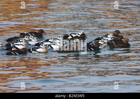 Steller s Eider Polysticta stelleri males and females - Stock Photo