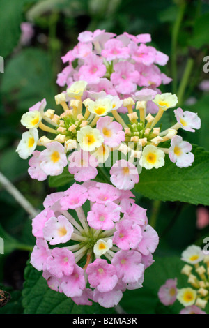 LANTANA CAMARA LAVENDER FLOWERED FORM - Stock Photo