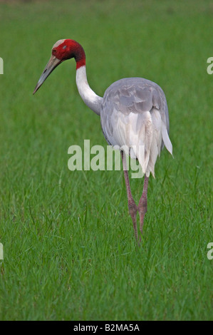 Indian sarus crane feeding in field - Stock Photo
