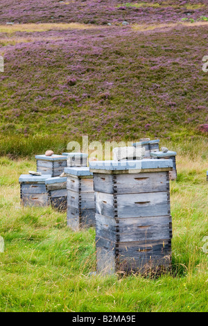 Scottish heather honey bees harvest the nectar from wild heather. – Smiths wooden beehives, on heather moors, Cairngorms - Stock Photo