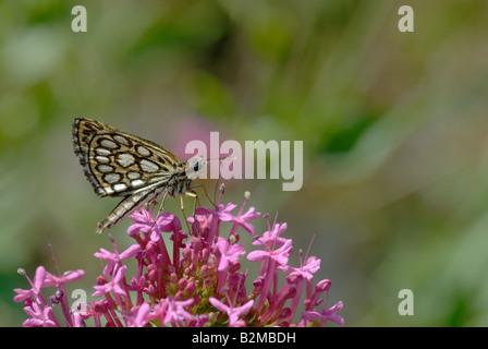 Large chequered skipper (Heteropterus morpheus) - Stock Photo