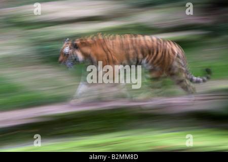 Amur Tiger Panthera tigris altaica Sibirian Tiger