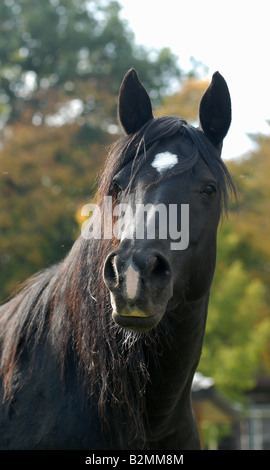 Arabian thoroughbred horse Arabisches Vollblutpferd - Stock Photo