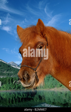 Islandpferd Islandic Horse Icelandic Horse Iceland Pony Islandpony - Stock Photo