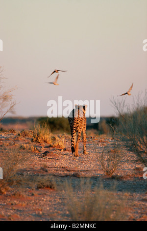 Cheetah Acinonyx jubatus South Africa Southafrica Big Cat - Stock Photo