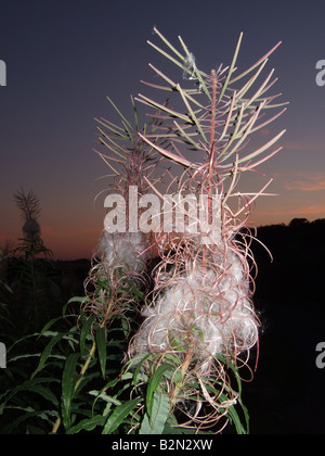 Rosebay willowherb seedhead and fluff against late evening sky.Epilobium angustifolium. - Stock Photo