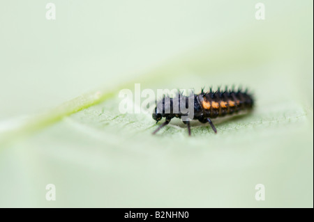 Harmonia axyridis. Harlequin ladybird larvae on a leaf - Stock Photo