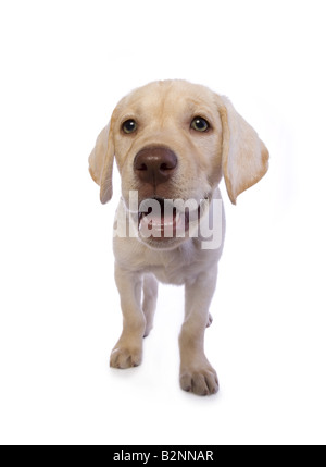 Adorable yellow Labrador Retriever puppy isolated on white background - Stock Photo