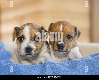 Two Jack Russell Terrier puppies on blue background - Stock Photo