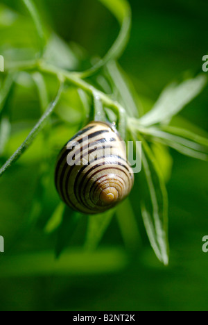 Brown Lipped Snail (Cepaea nemoralis) - Stock Photo