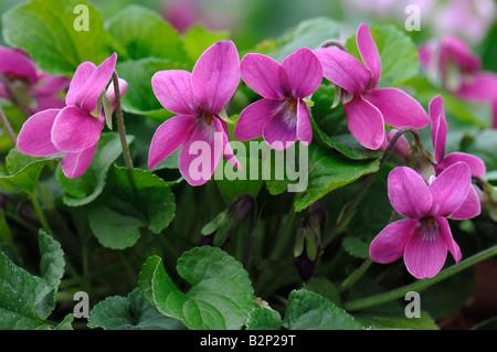 Sweet Violet (Viola odorata), variety: Miracle Magentared, flowering - Stock Photo