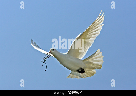 White Dove (Columba sp.) flying with nesting material in its beak - Stock Photo