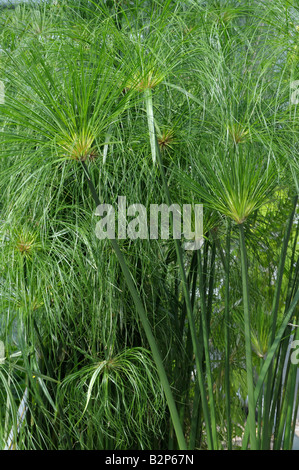 Egyptian Paper Plant, Papyrus Sedge, Paper Reed (Cyperus papyrus), stems and leaves - Stock Photo