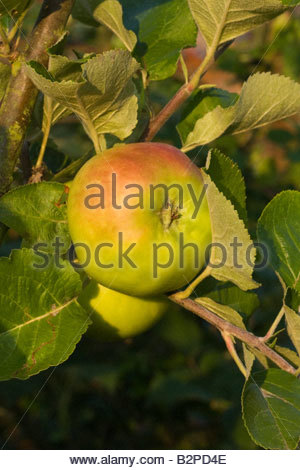 Bramley apple ripening on tree - Stock Photo