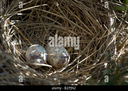 Two white bird eggs with brown spots lay in a nest - Stock Photo