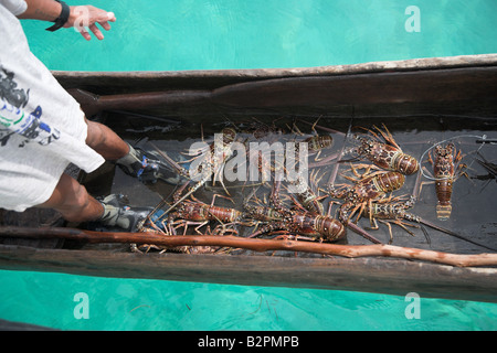 The Kuna (cuna) indian tribe selling fresh lobsters for a few US dollars in the San Blas Islands of the off the - Stock Photo