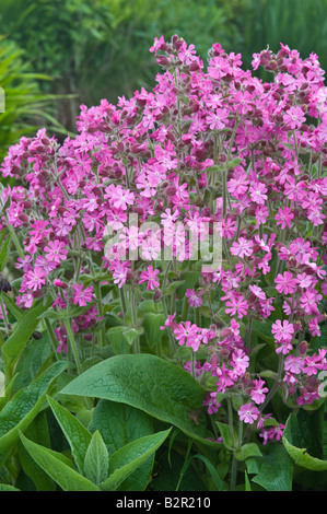 Red Campion Silene dioica flowering Fair Isle Shetland Islands Scotland UK June - Stock Photo