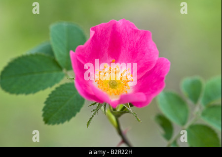 Dog Rose Rosa canina flowers Miller's Dale Derbyshire UK Europe July - Stock Photo