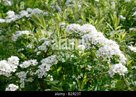 Flowers of the Bridal Wreath shrub, Spiraea arguta - Stock Photo