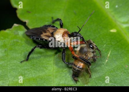Assassin Bug FamilyReduviidae Costa Rica - Stock Photo