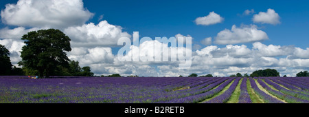 Mayfield Lavender Farm near Sutton in Surrey England UK - Stock Photo