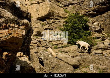 Mountain Goat (Oreamnos americanus) baby on cliff face - Stock Photo