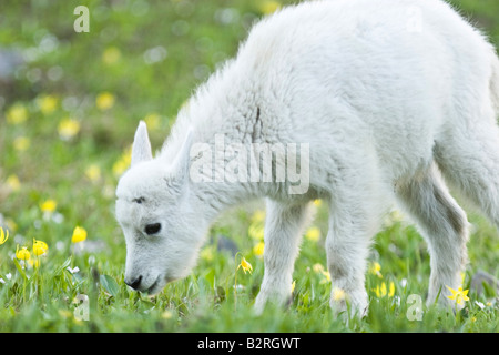 Mountain Goat (Oreamnos americanus) baby and wildflowers - Stock Photo