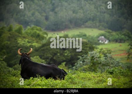 Bull lying in a field near Vinales, Cuba - Stock Photo