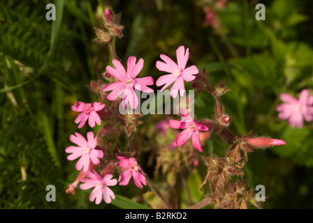 A Clump of Wild Red Campion Flowers in a Hedgerow near Carrick Dumfries and Galloway Scotland United Kingdom - Stock Photo
