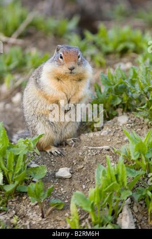 Columbian Ground Squirrel (Citellus columbianus) - Stock Photo