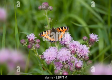 Small Tortoishell Butterfly Aglais urticae - Stock Photo
