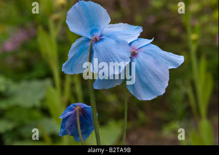 Mecanopsis Bobby Masterton flowers Branklyn Garden Perth Perthshire Scotland UK Europe May - Stock Photo