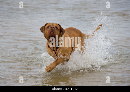 Dogue de Bordeaux playing in Sea - Stock Photo