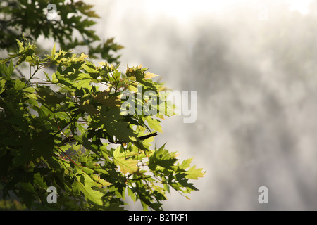Maple tree leaves in early morning sunlight - Stock Photo