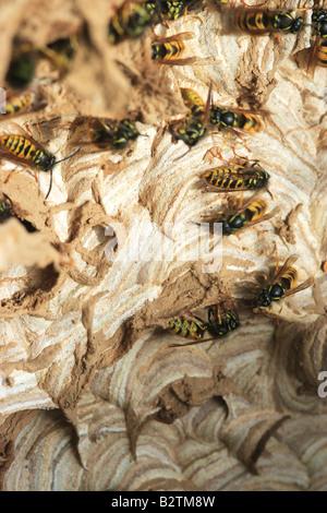 Wasps building Nest. (Vespula vulgaris). - Stock Photo