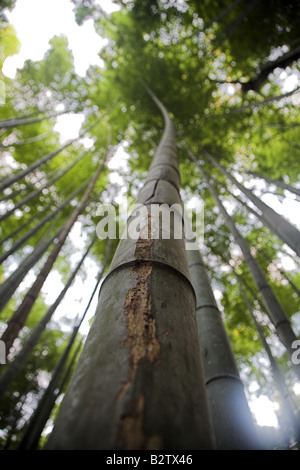 Bamboo trees in the bamboo forest at Arashiyama Park  Park near Kyoto in Japan. - Stock Photo