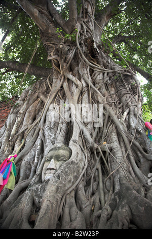 A tree with the Face of Buddha carved into its roots in Ayutthaya in Thailand. - Stock Photo