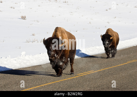 Bison walking down road in Yellowstone National Park in winter - Stock Photo