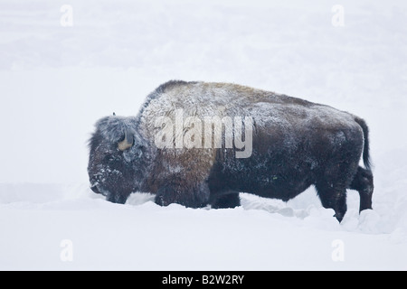 American bison or buffalo during winter in Yellowstone National Park - Stock Photo