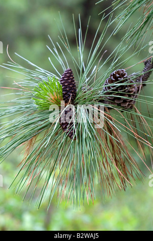 Pinecones and new growth on a Ponderosa Pine tree in Clearwater County Idaho - Stock Photo