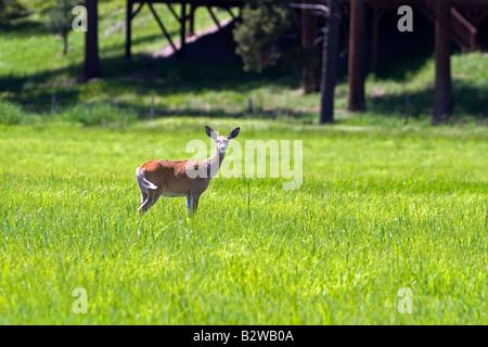 White tail deer doe in a meadow near Seeley Lake Montana - Stock Photo
