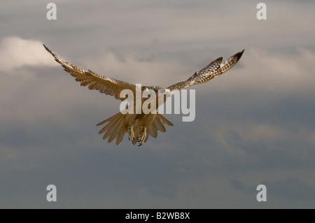 Gyrfalcon (Falco rusticolus) - Stock Photo