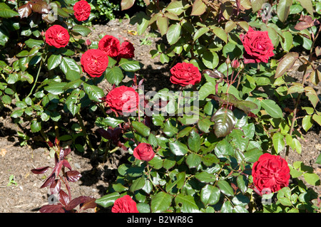 Rosa `Sargent Harwharry` - Stock Photo