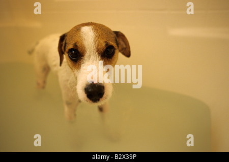 Jack Russell Terrier standing in bath tub getting a bath with scared sad look on his face, a get me out of here - Stock Photo