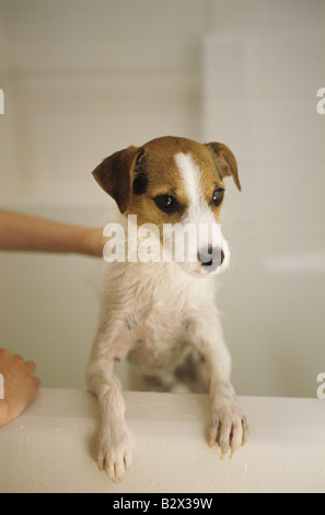 Jack Russell Terrier alertly standing up in bath tub getting a bath Marysville Washington State USA - Stock Photo