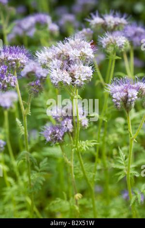 Lacy Phacelia - Stock Photo