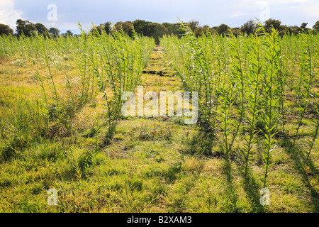 Willow Coppice Plantation field being grown for bio fuel near Carlisle, Cumbria, England, United Kingdom. - Stock Photo