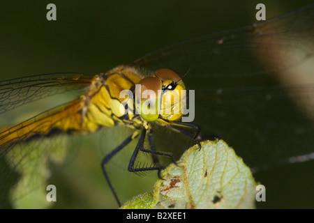 Common Darter (Sympetrum striolatum) perched on leaf - Stock Photo