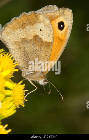 Meadow Brown (Maniola jurtina) butterfly feeding on Common Ragwort flower - Stock Photo