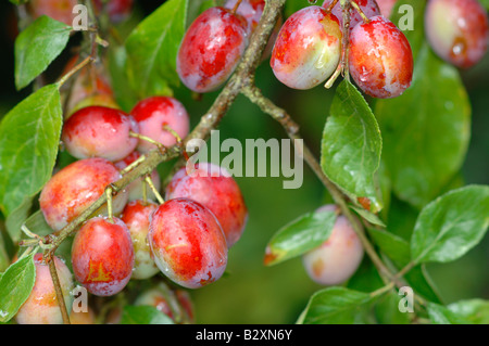 Victoria plums - Stock Photo